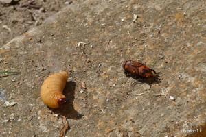 Il punteruolo rosso e una larva