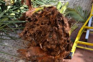 parte apicale di una palma corrosa dall'insetto