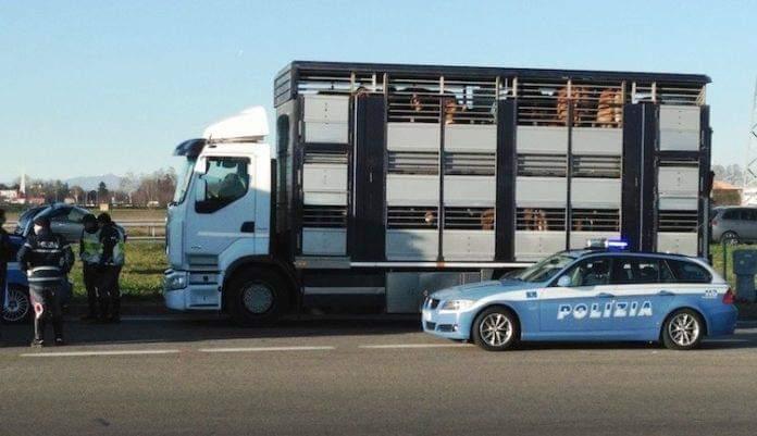 Caltanissetta. Trasportava bovini in maniera irregolare sull'autostrada A19: elevate sanzioni per 7500 - Radio CL1